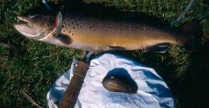 Flodperlemusling Bækørred okt 2000